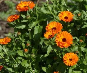 calendula_plant2
